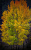 66  Autumn Aspen