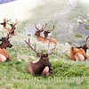 Bull Elk Resting in High Mountain Meadow