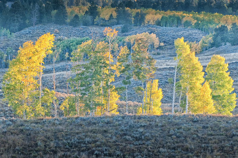 First Light on an Aspen Grove