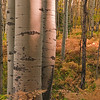 """A Quiet Conversation"" - Aspen Forest - Kebler Pass Rd., Gunnison Co., CO"