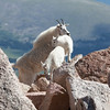 Mountain Goat Mother and Kids