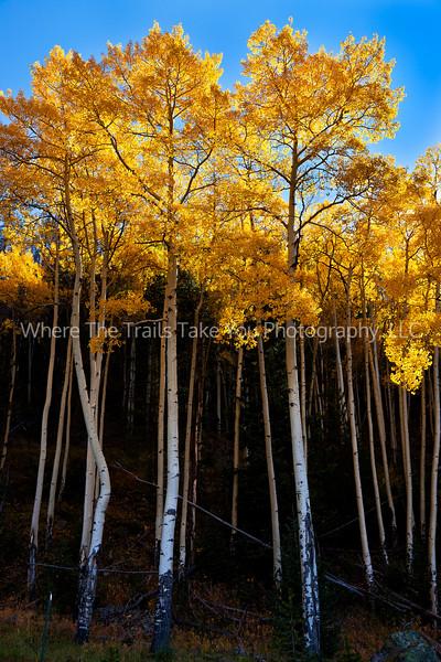 23.  Tall golden trees