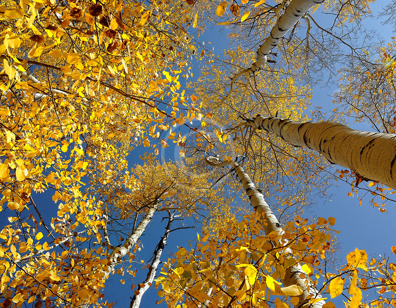 Aspen trees -- Colorado