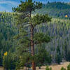 Strong and straight pine tree