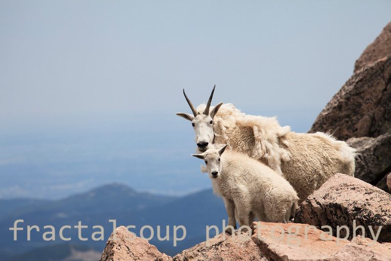 Mother Moutain Goat with you Kid