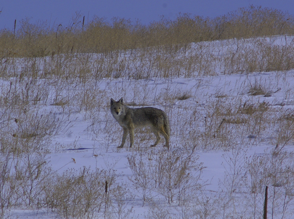 A pretty large coyote by Colorado standards.