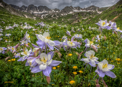 A swath of Columbines in American Basin near Silverton, CO.  This was my first visit to American Basin, and unfortunately I arrived just before the afternoon thunderstorm.  Fortunately, I was able to scout around and capture a few images in between gusts of wind.  I found this patch of Columbines amidst the millions of other wildflowers that grow in the basin, set up my camera and tripod, and waited for the wind to die down.  I didn't have to wait long, and as soon as the wind died I depressed my shutter realease button to fire my three auto-bracketed exposures.  Immediately after I made the captures thunder roared, the wind picked up, and it started raining.  Talk about the calm before the storm.    This is an HDR from 3 RAW images created using Photomatix Pro.
