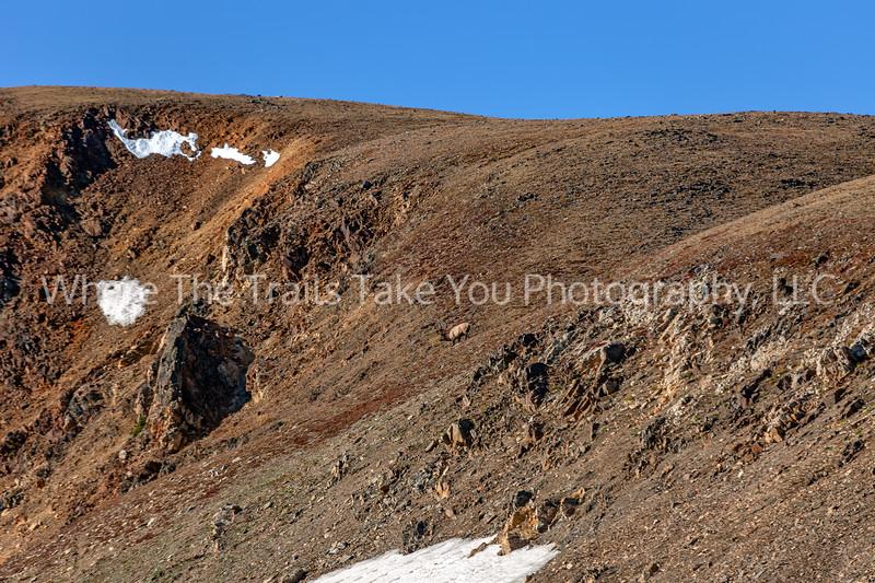 Elk On The Mountainside