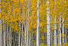 Colorado, San Juan Mountain, Rocky Fall Colors, Aspen, Foliage, Landscape, 科罗拉多 洛矶山 秋色, 风景