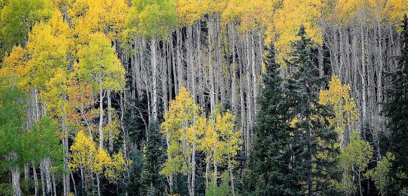Colorado, Aspen, Fall Colors, Foliage, Landscape, 科罗拉多 洛矶山 秋色, 风景