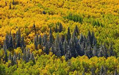 Fir Strip.  A strip of fir trees are surrounded by changing aspens.