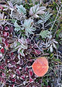 The Castle Floor.  Frost fringes the leaves on along Castle Creek near Aspen, Colorado