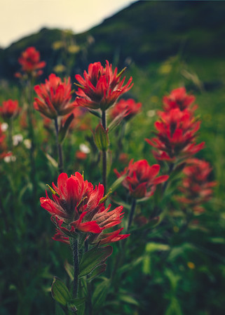 Infinite Indian Paintbrush