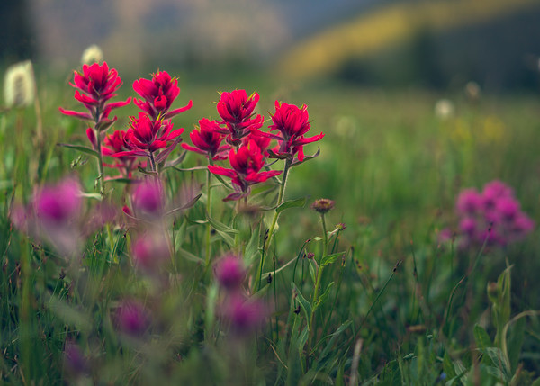 Intense Indian Paintbrush