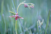 Filoha Meadow Orchid