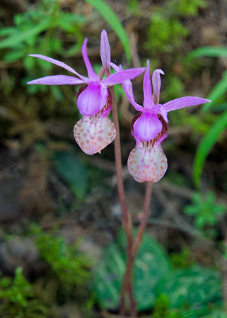 Fairy Slipper Orchids