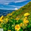 Mt. Hood and wildflowers
