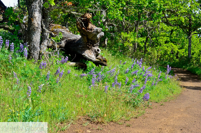Lupine near Coyote Wall