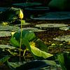 Lotus plants, Brazos Bend State Park, TX