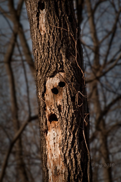 Conservation Interpretive Center, Cape Girardeau, MO:  Dead Tree under attack by woodpeckers. Pentax K-7, Pentax 50-135mm f/2.8 lens, Shot at AP-f/13, SS-1/50, and ISO-100.