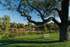 Featured:  Venerable black cherry tree surveying its domain