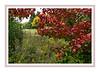 D277-2012 Callery pear tree foliage in context<br /> .<br /> Toledo Botanical Garden, Ohio<br /> October 4, 2012