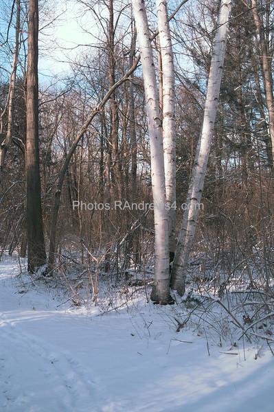 Corbett's Glen birch trees