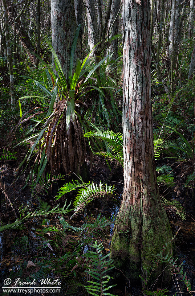 Corkscrew swamp #7