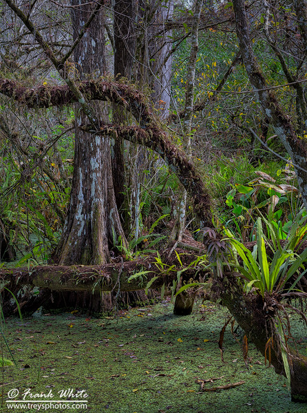 Corkscrew swamp #10