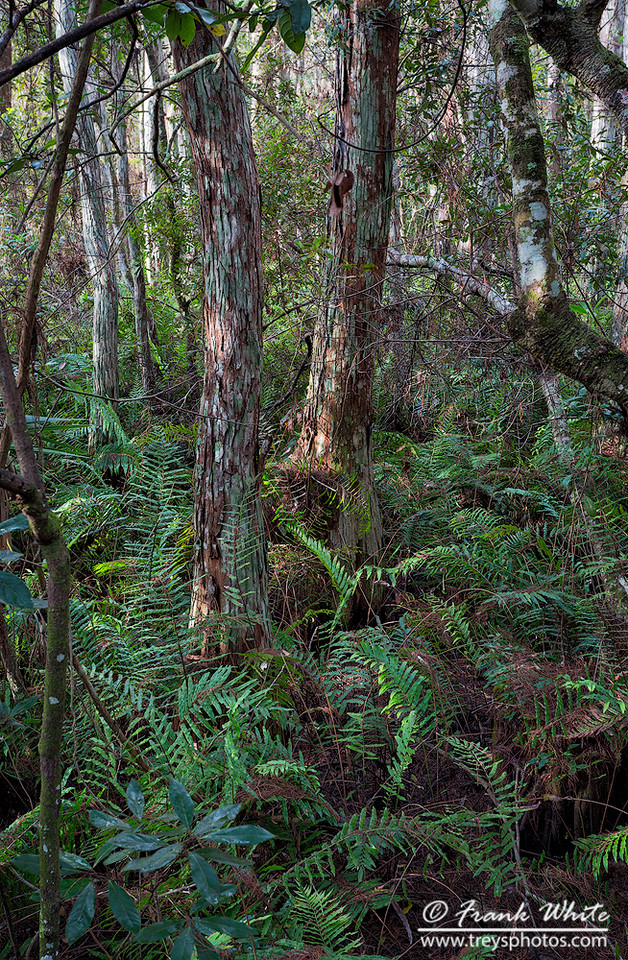 Corkscrew swamp #3