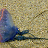 Portuguese Man-of-War, Nanjizal Bay, near Lands End, Cornwall.  These unusual organisms (actually collections of organisms that function as a unit) are rare visitors to British shores.  Their tentacles can deliver a painful or even dangerous sting.