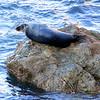Godrevy seal