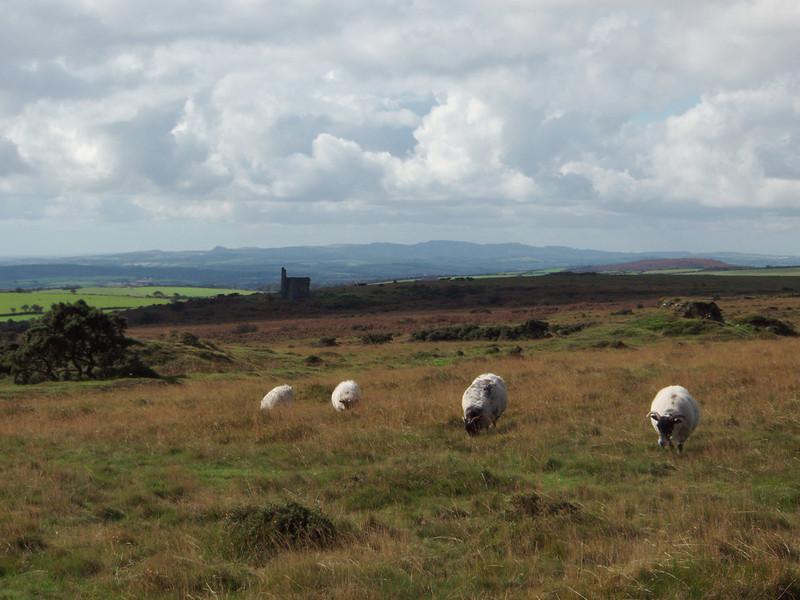 Sheep grazing on Bodmin  Moor
