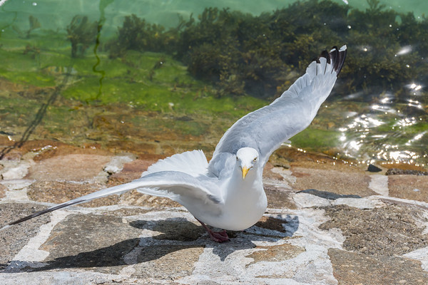 Seagull @ St Ives