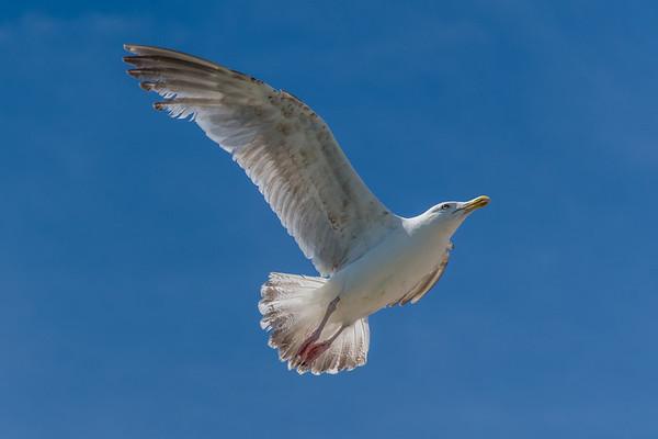 Seagull Mid-flight