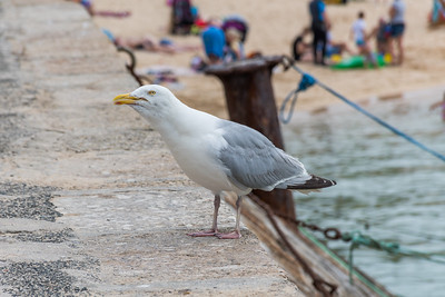 Seagull at St Ives