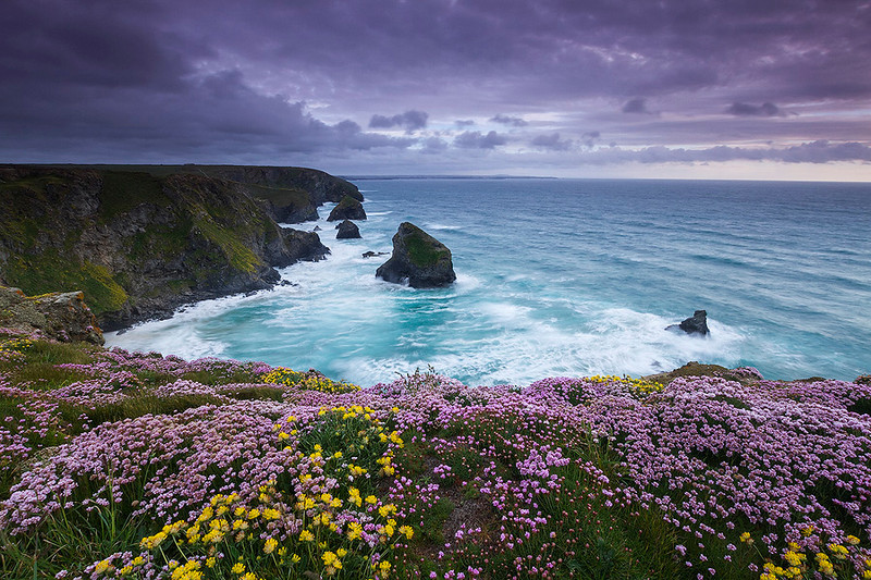 Wild pink thrift flowers at the cliff of bedruthan steps, Cornwall.