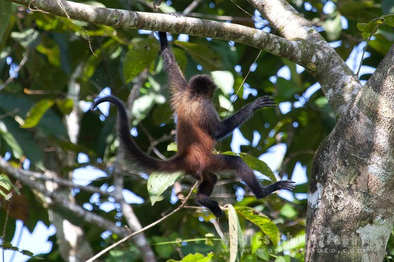 Spider Monkey, brachiating