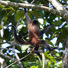 Spider Monkey, brachiating