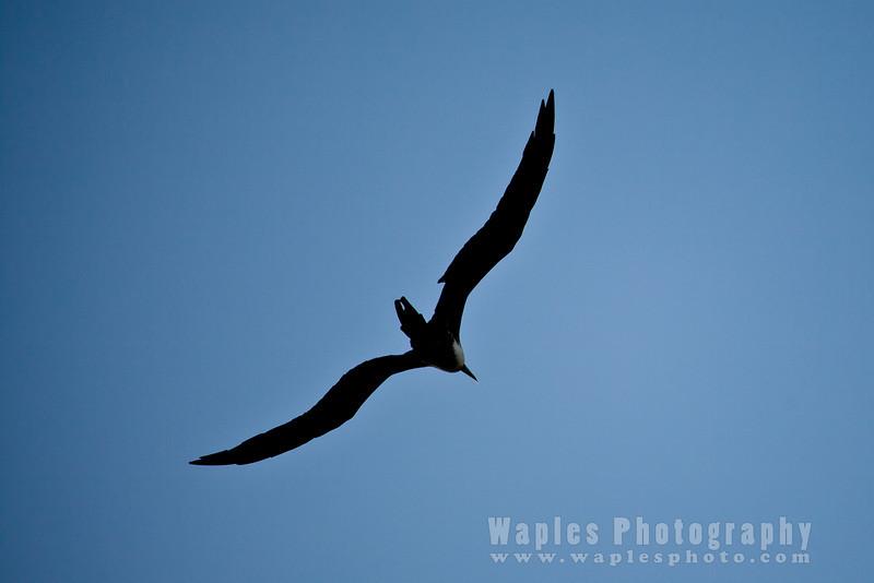 Magnificent Frigatebird, in sillohuette