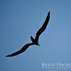 Magnificent Frigatebird, in sillohuette