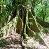Enormous Buttress Roots of a Giant Fig Tree