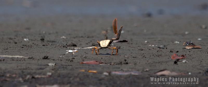Fidler Crabs Everywhere