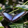 Iridescent tropical butterfly, Blue Morpho