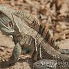 Prehistoric Looking Ctenosaur Lizard