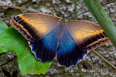 Morpho sp. butterfly