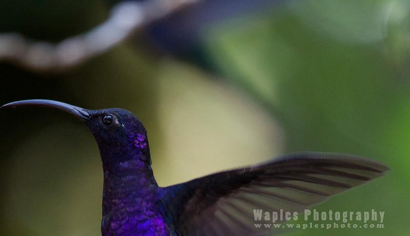 Violet Sabrewig Hummingbird