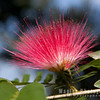Blossom, Persian Silk Tree