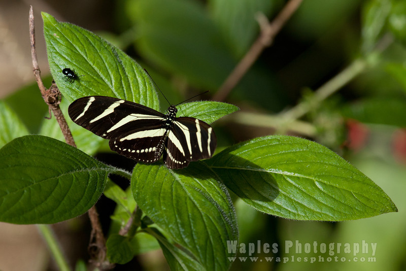 Tiger striped butterfly