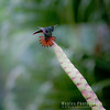Rufous-tailed Hummingbird, Morning Stretch